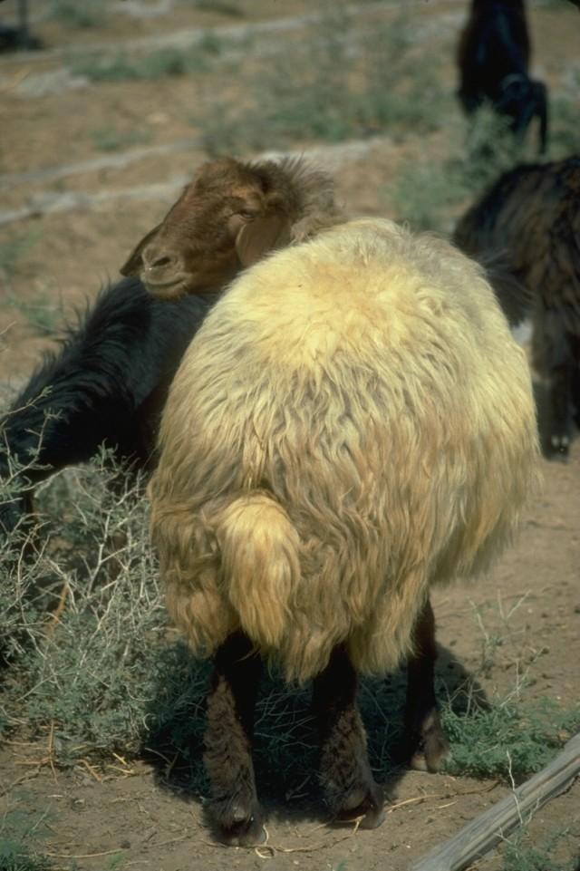 Wie haben Schafe berlebt, als sie noch nicht vom Menschen