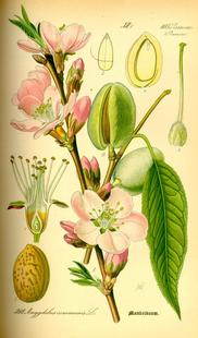 Aus: O.W. Thomé, Flora von Deutschland, Österreich und der Schweiz, Gera 1885, 105