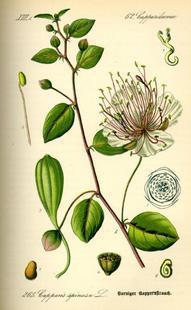 Aus: O.W. Thomé, Flora von Deutschland Österreich und der Schweiz, Gera 1885, Abb. 265.