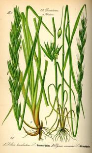Aus: O.W. Thomé, Flora von Deutschland, Österreich und der Schweiz, Gera 1885, 48.
