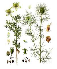 Aus: Köhler's Medizinal-Pflanzen in naturgetreuen Abbildungen mit kurz erläuterndem Texte, bearb. v. M. Vogtherr, Bd. 3 (Ergänzungsband), Gera-Untermhaus 1898, Pl. 66